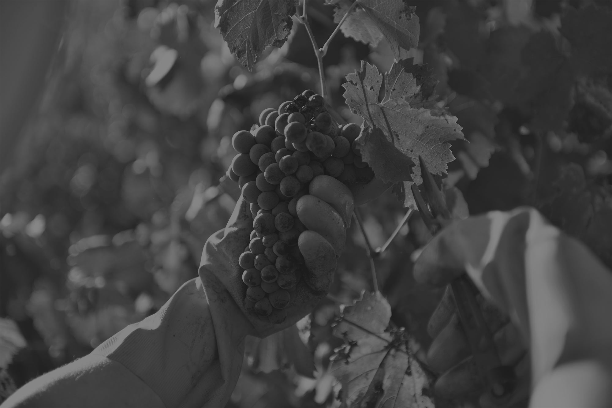 vigne-lafran-veyrolles-black2