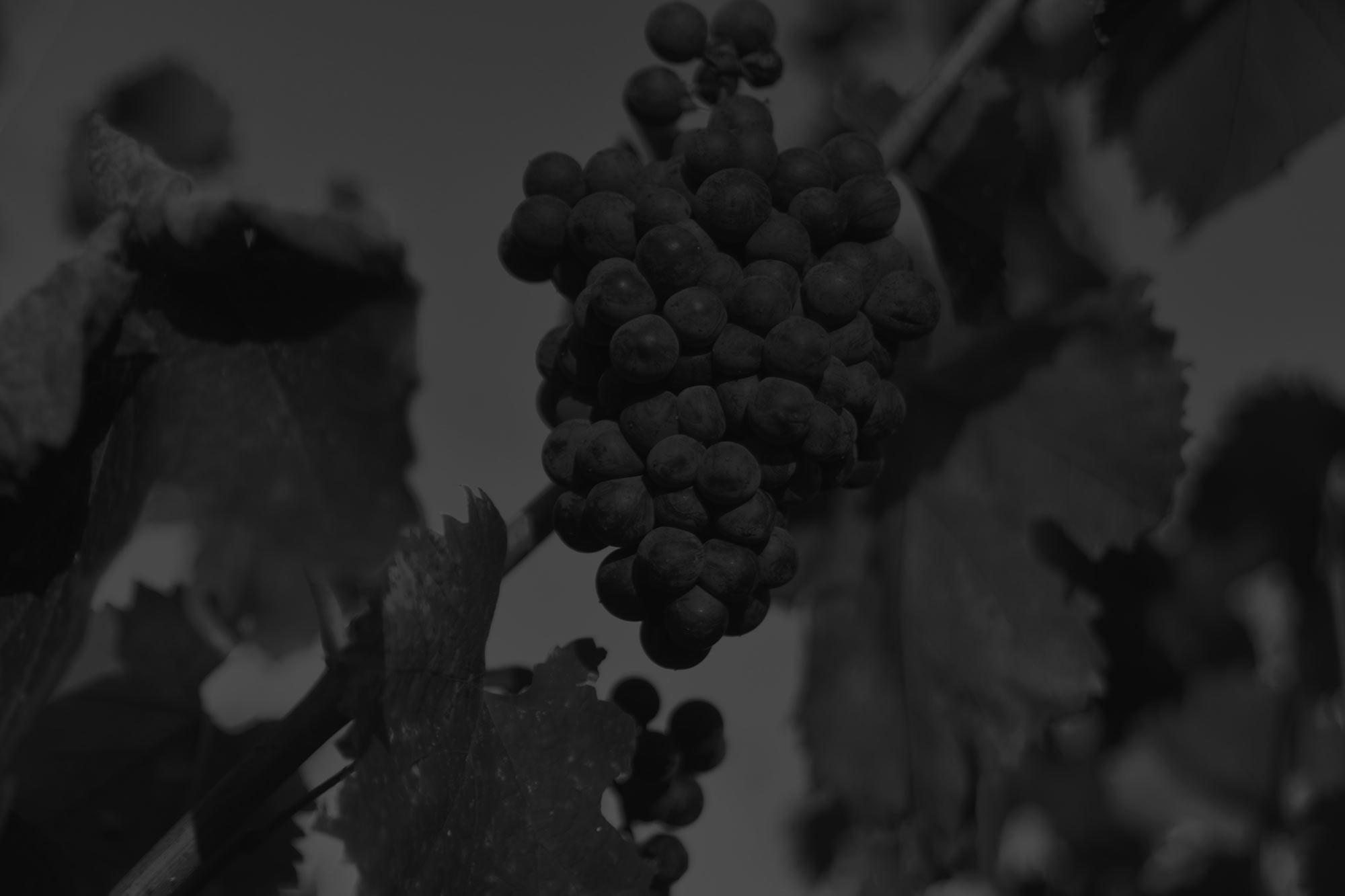 vigne-lafran-veyrolles-raisin